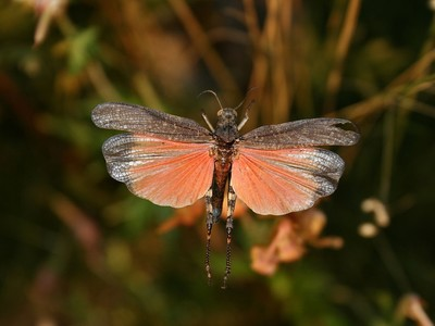 Rotflügelige Schnarrschrecke, männlich, im Flug