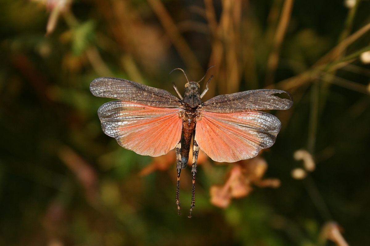 Rotflügelige Schnarrschrecke männlich fliegt