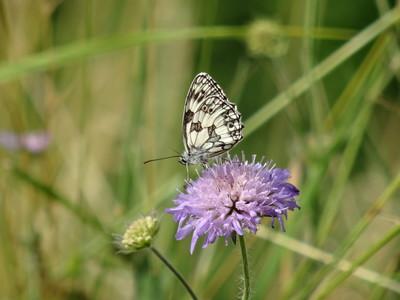 Schmetterling Schachbrett